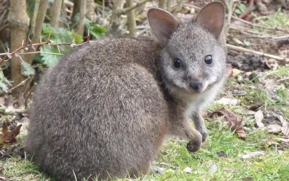 quel animal n est pas un marsupial