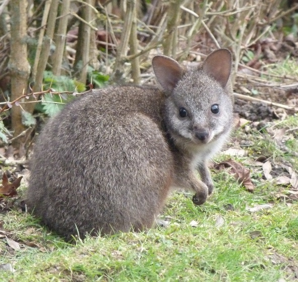Wallaby de Parma bébé