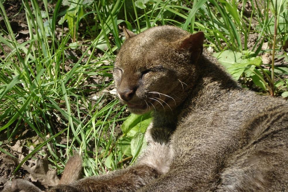 Jaguarondi ou chat loutre