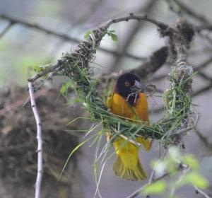 Volière des passereaux où les tisserins gendarmes tissent des nids de mai à juillet.vous y verrez aussi des Monseigneurs, Worabées et ignicolores