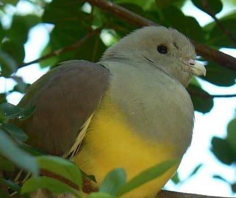Pigeon vert Waalia