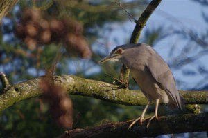 Voliere-echassiers-heron-bihoreau