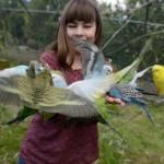 Volière australienne avec des perruches ondulées