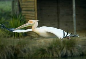 voliere-africaine-pelican-blanc