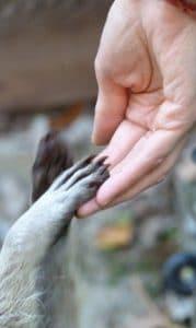 raton laveur zoo parc animalier spay - le mans - sarthe - 72