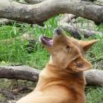 Dingo d'Australie