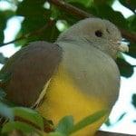 Pigeon vert ou Colombar Waalia