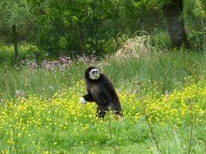 gibbon fleurs