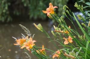 hemérocalle fleurs 21 06 2013 - 72 dpi