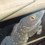 gecko tockay