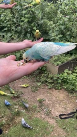 nourrissage perruche